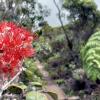 Thumbnail image for Pihea Trail to Alakai Swamp