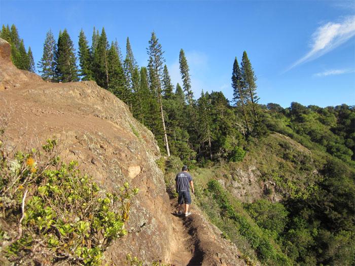 Cook Island Pine Trees