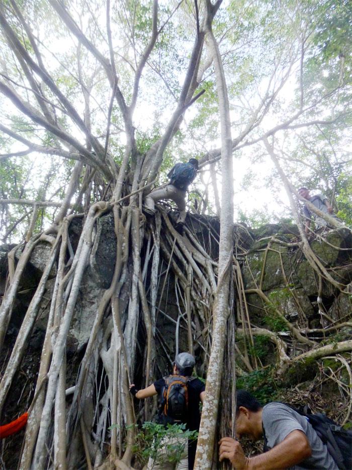 Tree root climbing