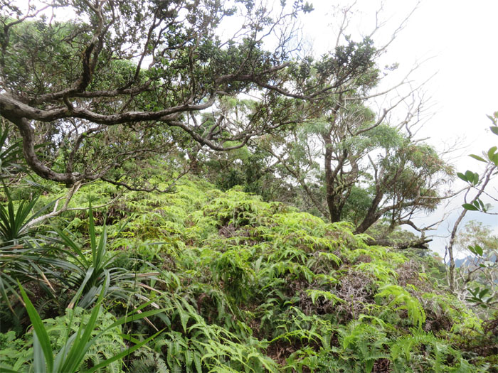Swallowed by uluhe ferns