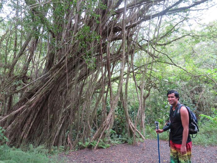 Down the banyan tree grove