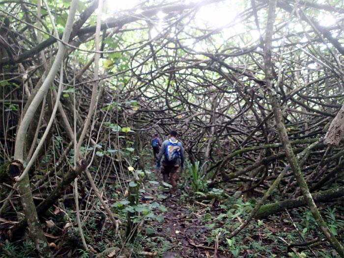 Hau tree tunnel
