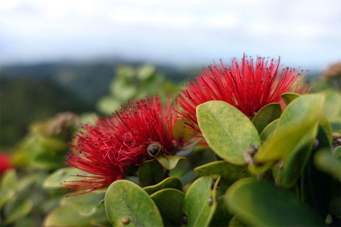 Red Lehua Flowers