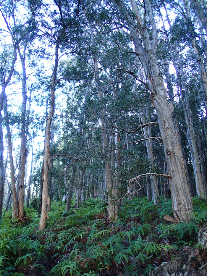 Uluhe forest