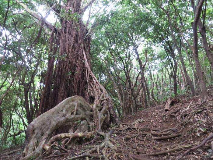 Banyan tree trail
