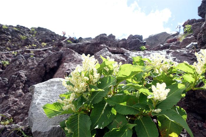 Fuji flowers