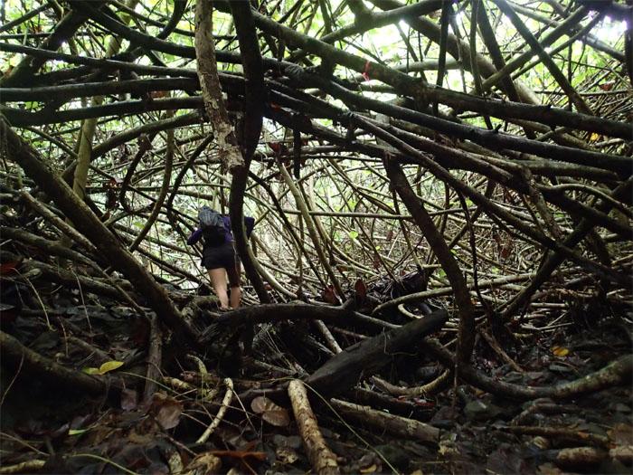 Hau trees