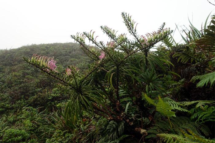 Koolau Range lobelia