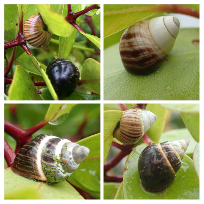 Hawaiian tree snails