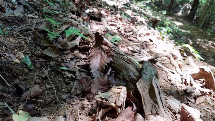 Mountain amphibian