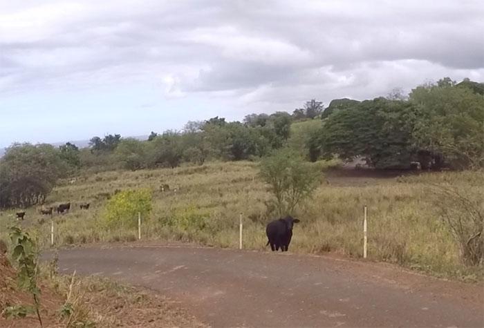Cow Problem #2