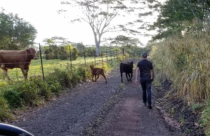 Cow Whisperer