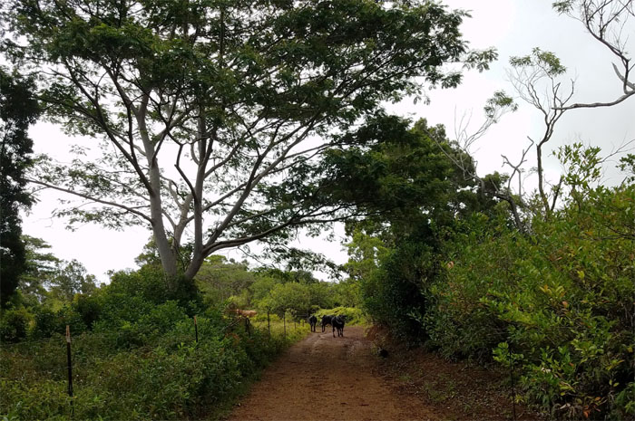 Cow Safari