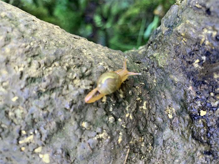 Shelled gastropod
