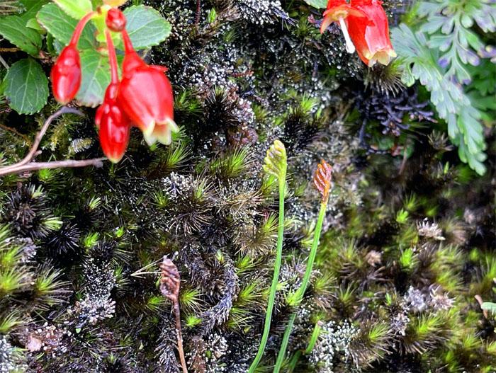 Schizaea robusta